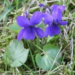 559px-Viola_odorata_Garden_060402Aw