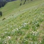 Rezervatia-Naturala-Poiana-cu-narcise-de-pe-Masivul-Saca-20110503170838