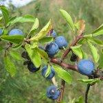 Prunus_spinosa_frucht