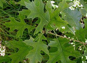 290px-Quercus-palustris