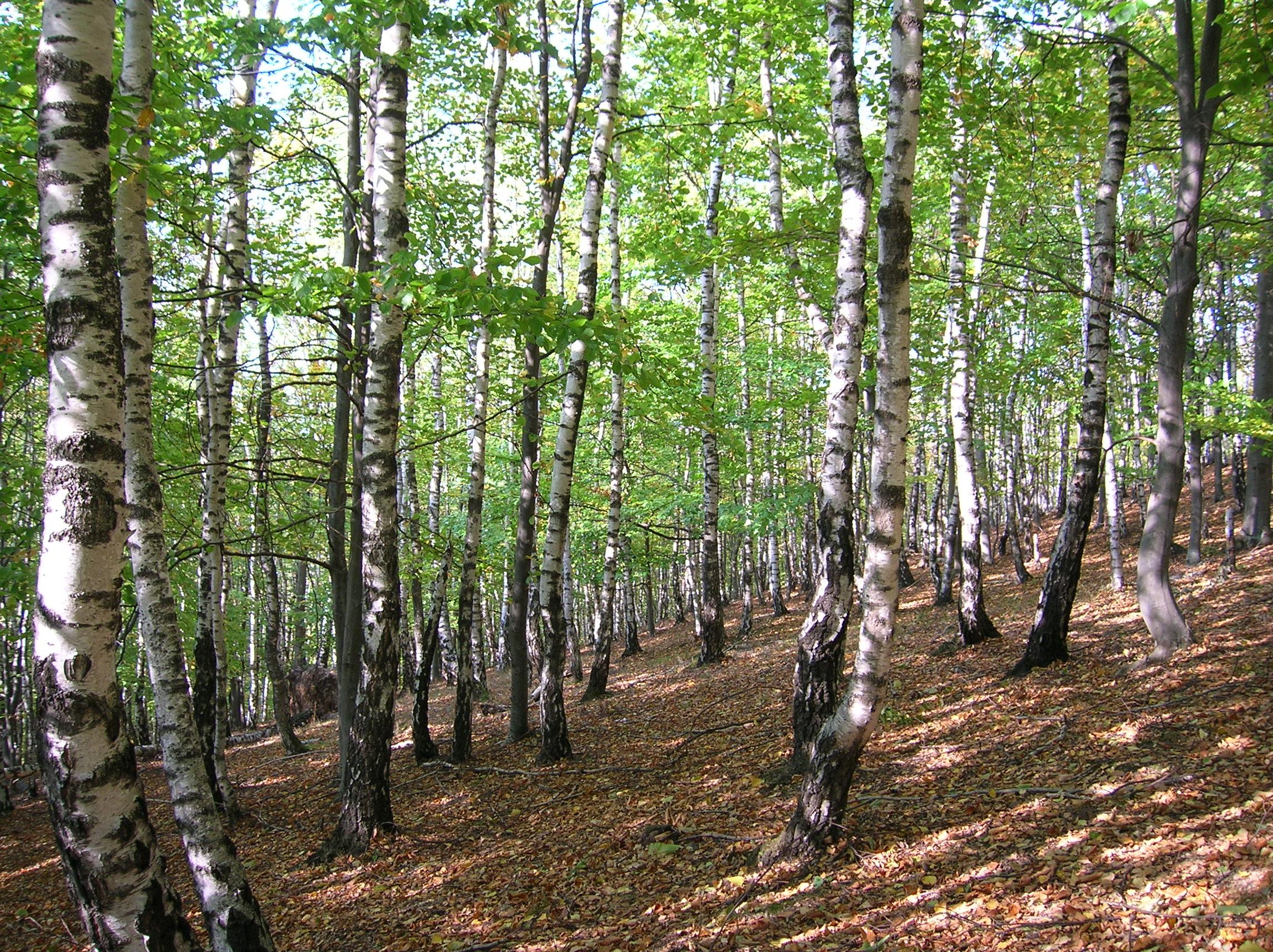 Pădurea_de_argint_Dobreni_11