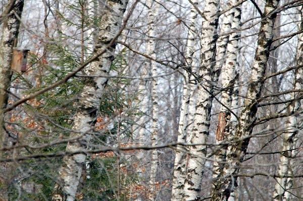 Rezervatia-forestiera-Padurea-de-Argint-20101207102514