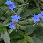 Lithospermum_purpureocaeruleum01