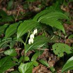 Polygonatum_latifolium