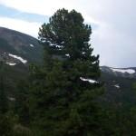 Rezervatia-naturala-Jnepenisul-cu-Pinus-cembra-20110204163710