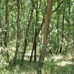 Rezervatia-naturala-Padurea-Badeana-20110905110853