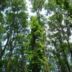 Rezervatia-naturala-Padurea-de-frasini-Urziceni-20120626145031