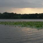 Snagov_water_lilies